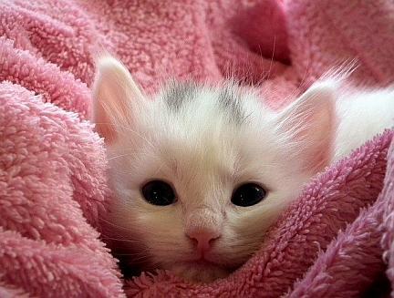 sibirisk katt pris