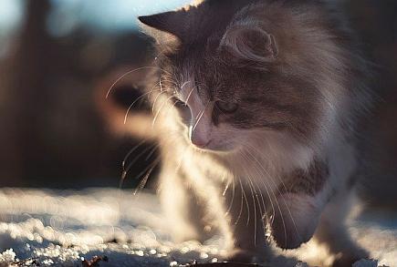 sibirisk katt temperament