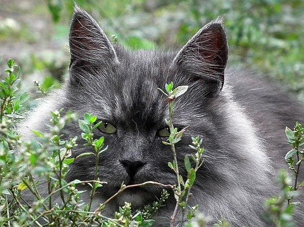 sibiriska katter